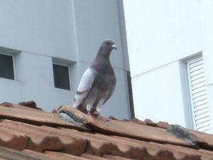holubi v domácnosti