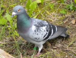 hubení holubů