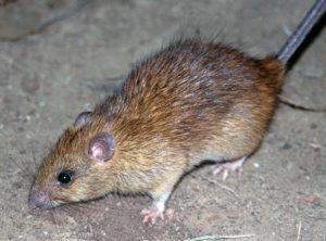hubení krys