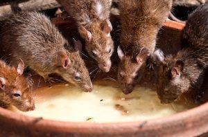 hubení krys krysy ve smečce