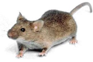 Hubení myší