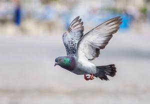 jak se zbavit holubů