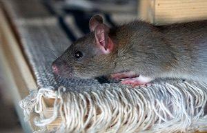 jak se zbavit potkanů