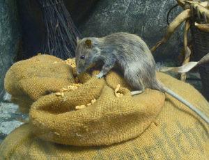 krysy v domácnosti