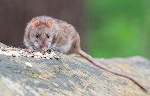 likvidace potkanů