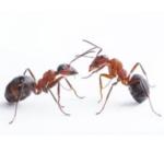 deratizace mravenců