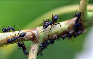 mravenci hubení