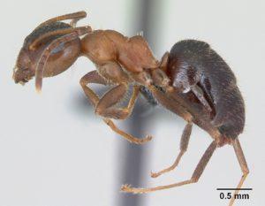 mravenec domácí