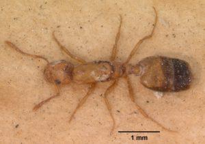 mravenec faraón