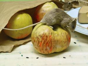 hubení myší v domácnosti