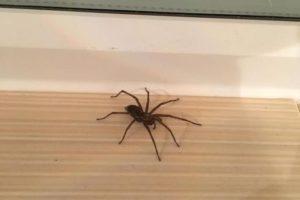 pavouk doma