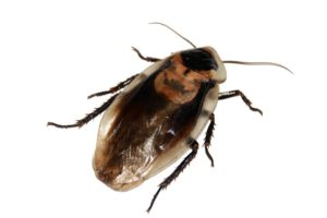 šváb obecný