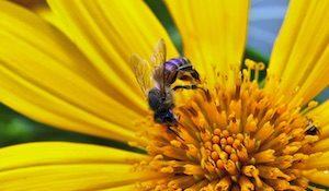 vosa obecná na květině - pyl, nektr